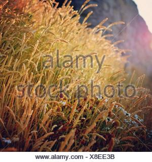Close-up of feather grass reeds - Stock Photo