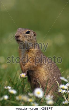 Citellus / Spermophilus / ground squirrels , susliks , sousliks - Stock Photo