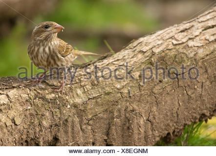 House finch (Haemorhous mexicanus), William Finley National Wildlife Refuge, Oregon. - Stock Photo