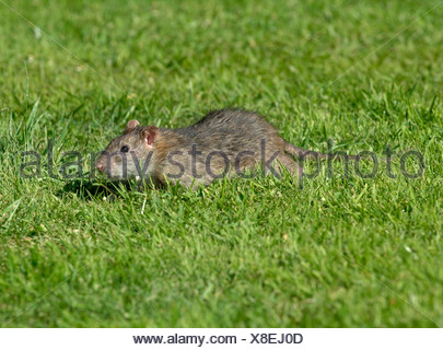 Adult brown rat scurrying across a lawn near to a bird feeder - Stock Photo