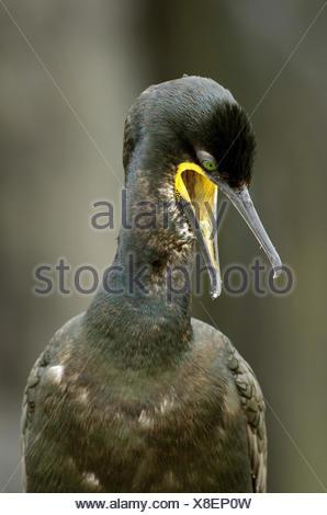 shag (Phalacrocorax aristotelis), calling, United Kingdom, England, Northumberland, Farne Islands - Stock Photo