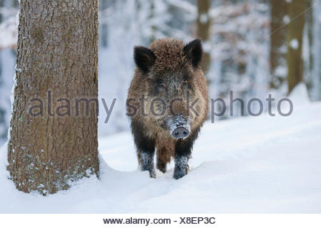 Wild Boar (Sus scrofa), sow standing in the snow, captive, Bavaria, Germany - Stock Photo