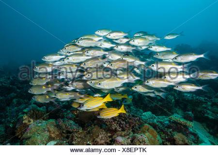 Shoal of Glowspot Emperor, Lutjanus kasmira, Gnathodentex aurolineatus, Felidhu Atoll, Maldives - Stock Photo