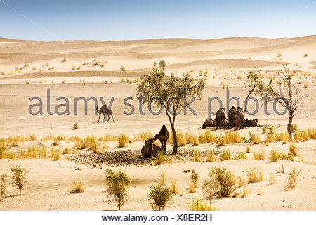 Camels sheltering under trees in desert - Stock Photo
