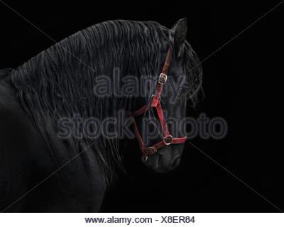 frisian stallion - Stock Photo