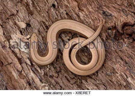 Blindworm on bark - Stock Photo