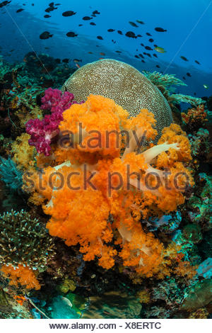 Colored Coral Reef, Dendronepthya sp., Komodo, Indonesia - Stock Photo