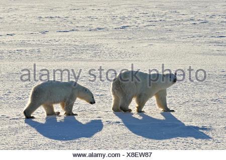 Polar bears Ursus maritimus on frozen tundra, Churchill, Manitoba, Canada - Stock Photo