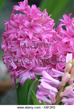 Jacinthe (Hyacinthus orientalis), blooming, detail of the spike - Stock Photo