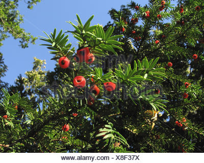Common yew, English yew, European yew (Taxus baccata), fruiting branch, Germany - Stock Photo