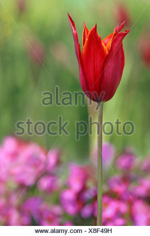 lily-flowered tulip tulipa queen of sheba before green and pink - Stock Photo