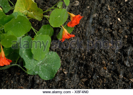 Rain falling on garden soil with water droplets on a nasturtium leaf flowers - Stock Photo