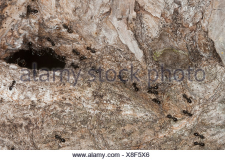 jet ant, shining jet black ant (Lasius fuliginosus), at the entrance of their nest in a caved tree trunk, Germany - Stock Photo