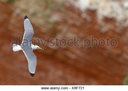 black-legged kittiwake (Rissa tridactyla, Larus tridactyla), flying at the bird rock, Germany, Schleswig-Holstein, Heligoland - Stock Photo