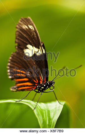 Heliconius erato - Stock Photo