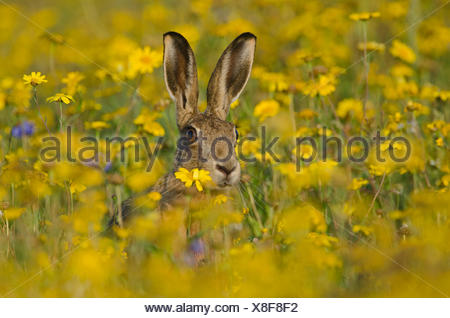 Brown Hare Lepus europaeus alert in flower meadow Norfolk summer - Stock Photo