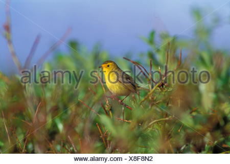 Wilson's Warbler Perched in Branch SW AK Summer /nMcNeil State Game Sanctuary - Stock Photo