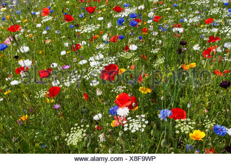 colourful flower meadow with poppy and cornflowers, Germany - Stock Photo