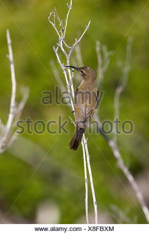 Greater Double-Collared Sunbird, nectarinia afra, Female on Branch, South Africa - Stock Photo