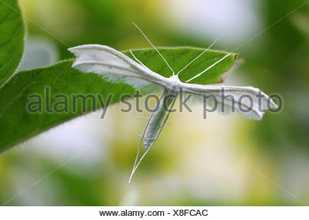 the many-plumed moth or pterophoridae - Stock Photo