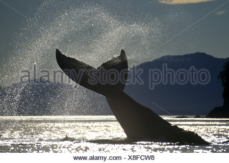 Humpback Whale lobtailing, Icy Straits, Southeast Alaska - Stock Photo