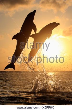Two Common Bottlenose Dolphins (Tursiops truncatus), adult, leaping at sunset, Roatan, Honduras, Caribbean, Central America - Stock Photo