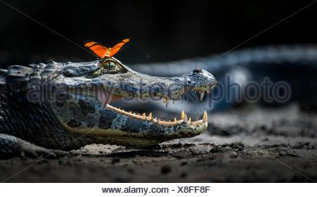 Julia heleconia (Dryas julia) butterfly on head of Yacare caiman (Caiman yacare)  Pantanal, Brazil. - Stock Photo