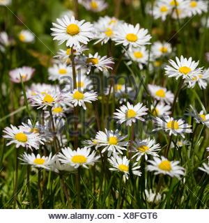 Daisies (Bellis perennis), North Rhine-Westphalia, Germany - Stock Photo
