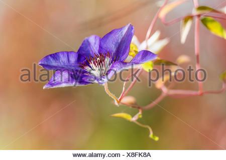 Klematis, Waldrebe (Clematis spec.), violette Clematis-Bluete im Profil | clematis, virgins-bower (Clematis spec.), violet flowe - Stock Photo