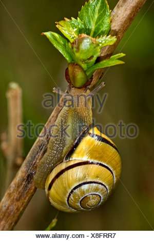 brown-lipped snail, grove snail, grovesnail, English garden snail, larger banded snail, banded wood snail (Cepaea nemoralis), sitting at a sprout, Germany, Baden-Wuerttemberg - Stock Photo