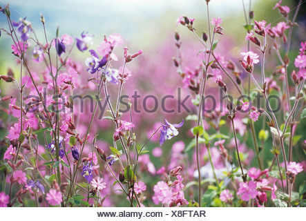 Lychnis flos-jovis, Campion, abundant small pink flowers on long stems. - Stock Photo