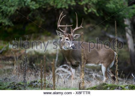 Male Whitetail Deer, Odocoileus virginianus, Central Idaho, USA - Stock Photo