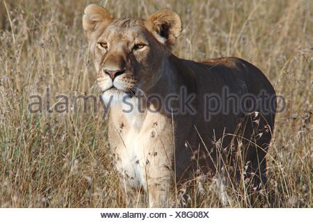 Lioness (panthera leo), Masai Mara, Kenya, Africa - Stock Photo