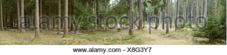 Norway spruces, Upper Palatinate, Bavaria, Germany, Europe - Stock Photo