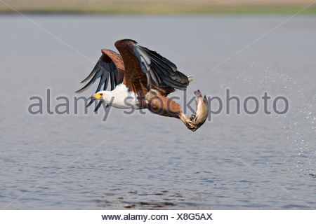 Africa, Botswana, African fish eagle (Haliaeetus vocifer) with catch, taking flight - Stock Photo