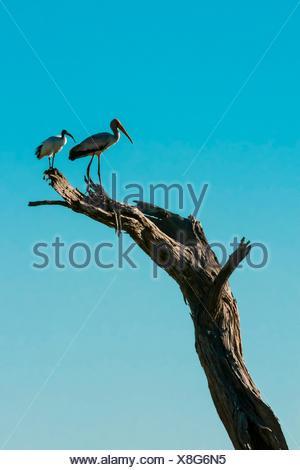 Birds, Kwando Concession, Linyanti Marshes, Botswana. - Stock Photo