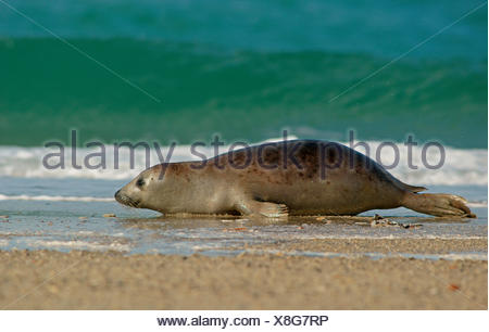 Harbour Seal (Phoca vitulina), Düne island, Helgoland, Schleswig-Holstein, Germany - Stock Photo
