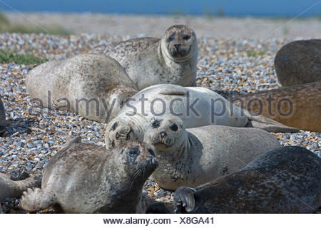 Common (Harbour) Seals with on Blakeney Point Norfolk summer - Stock Photo