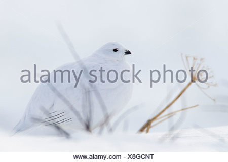 Willow Ptarmigan in white winter plumage sitting behind bare branches on snowpack, Chugach Mountains, Alaska, Winter - Stock Photo
