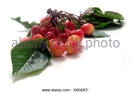 Cherry variety Altenburger Knorpelkirsche  with twig and leaves - Stock Photo