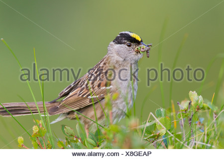 Close up of a Golden-crowned Sparrow with its bill full of worms to feed young, Arctic Valley, Chugach State Park, Alaska - Stock Photo
