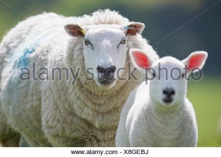 Portrait of sheep and lamb, focus on background - Stock Photo