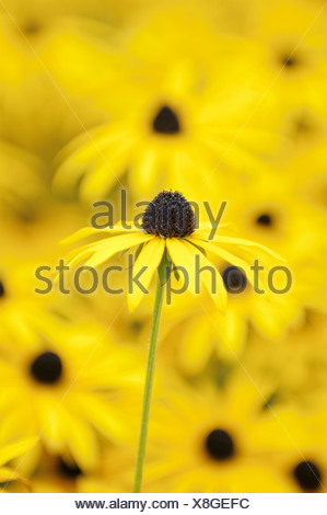 Rudbeckia fulgida var. deamii, Coneflower, Black-eyed Susan, Yellow flower isolated in shallow focus against similar flowers. - Stock Photo