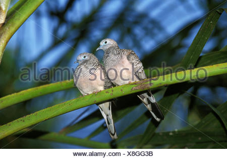Peaceful Dove, geopelia placida, Adults on Branch, Australia - Stock Photo