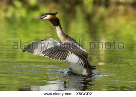 Grebes (Podiceps cristatus) in water spreading its wings, side view, Nettetal, North Rhine-Westphalia, Germany - Stock Photo