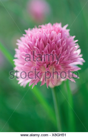 Pink chive flower - Stock Photo