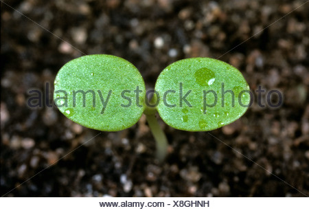Heartsease johnny jumpup or wild pansy (Viola tricolor) seedling cotyledons - Stock Photo