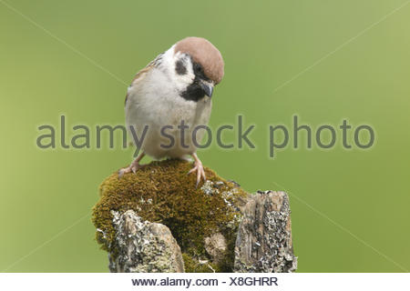 Eurasian Tree Sparrow (Passer montanus) adult, perched on moss and lichen covered fencepost in garden, Chirnside, Berwickshire, - Stock Photo