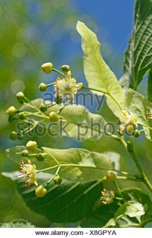 Linden tree Tilia platiphyllos or Tilia cordata - Stock Photo