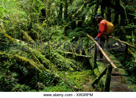 A man hikes across bridge in the temperate rainforest of Queulat National Park, Chile - Stock Photo